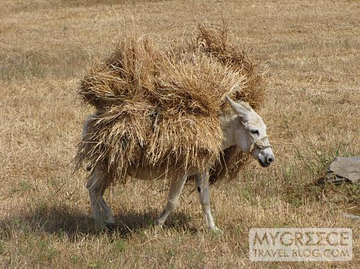 a donkey carries bales of hay