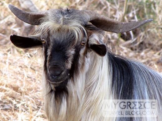 a goat on Patmos