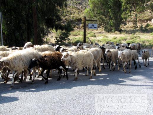 a flock of sheep at Grikos on Patmos