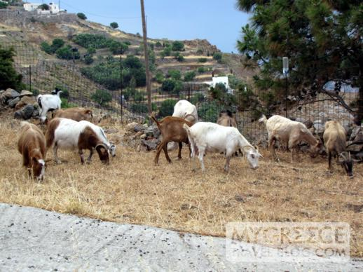 a herd of goats on Patmos