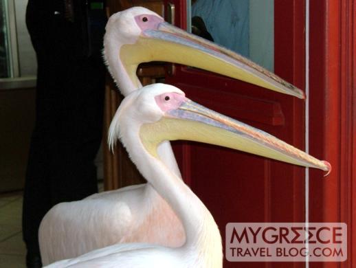 pelicans at Nikos taverna in Mykonos Town
