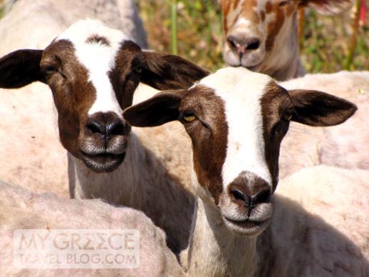 Mykonos goats
