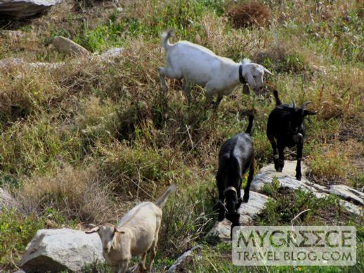 goats at Hotel Hermes Ios