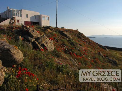 red poppies on a Mykonos hillside