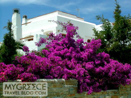 Bougainvillea on Naxos island