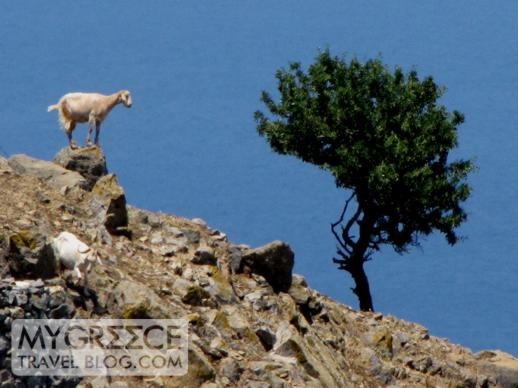 a goat and a tree on Patmos