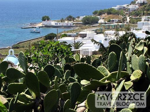 cactus on the hillside above Agios Ioannis bay Mykonos
