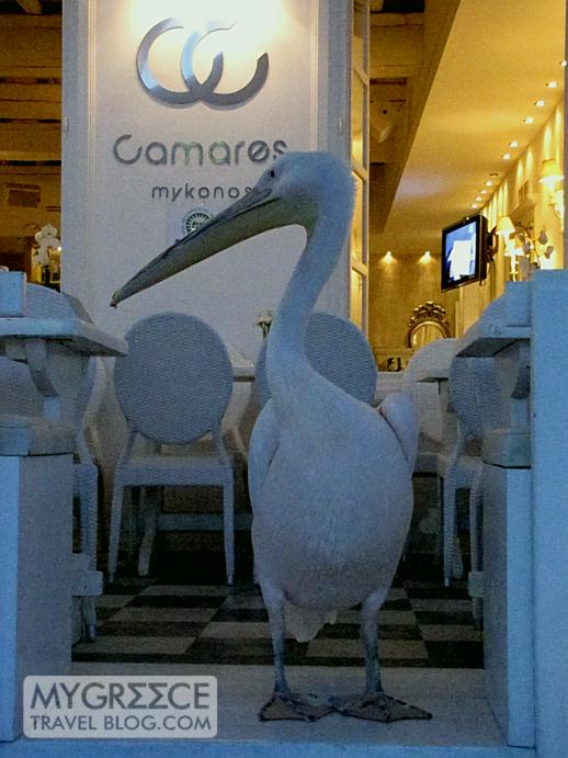 pelican at Camares bar on Mykonos