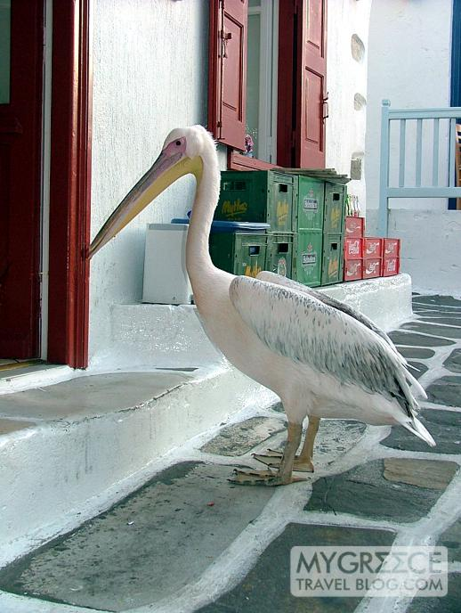pelican at Nikos Taverna in Mykonos Town