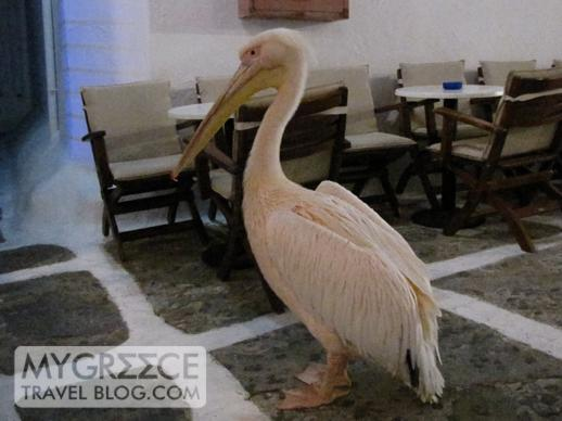 pelican at Skandinavian Bar in Mykonos