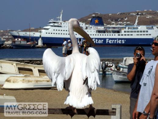 a pelican on Mykonos