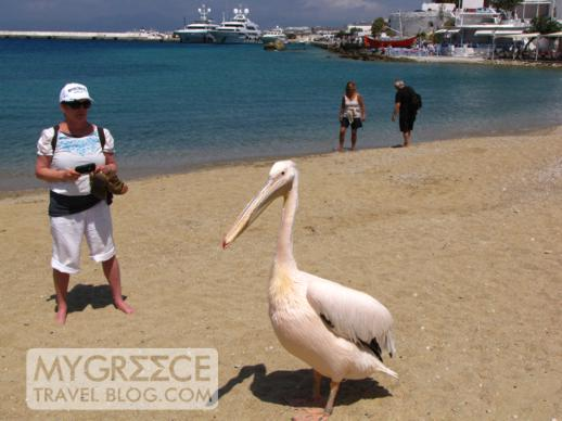 a pelican on Agia Anna beach Mykonos