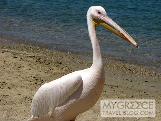 pelican on Agia Anna beach in Mykonos Town