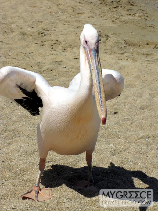 pelican on Agia Anna beach in Mykonos Town
