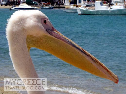 pelican watching the boats in Mykonos harbour