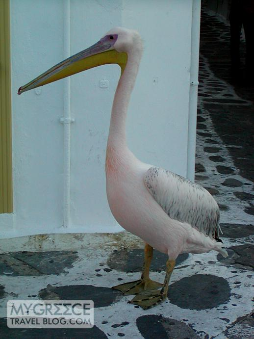 a pelican on a street in Mykonos Town