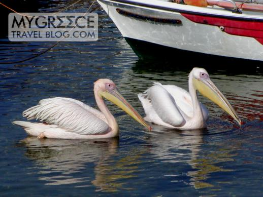 two pelicans in Mykonos Town harbour