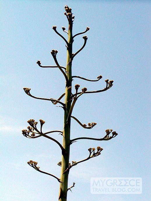 an agave flower stem on Naxos