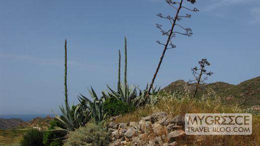 agave flower stems on Milos