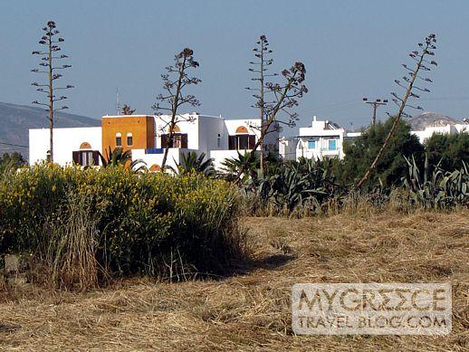 agave flower stems on Naxos