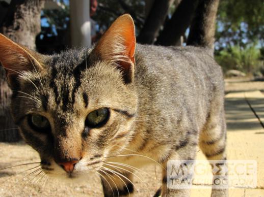 cat at Nicolas taverna on Mykonos