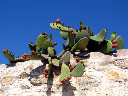 cactus on a stone wall in Mykonos