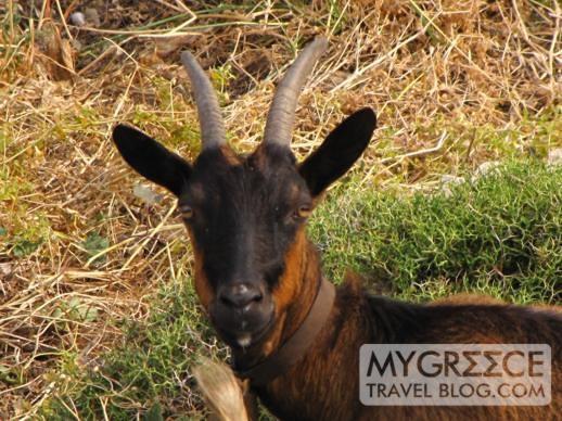 a goat on Ios