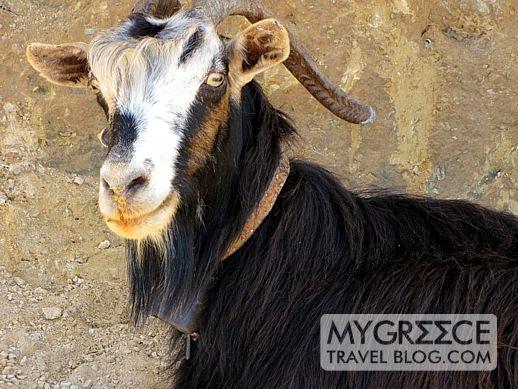 a goat on Amorgos