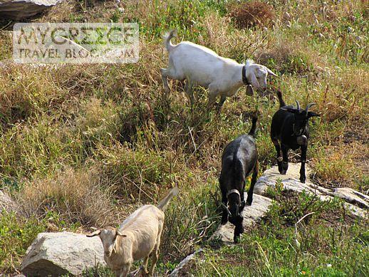 goats on Ios Greece