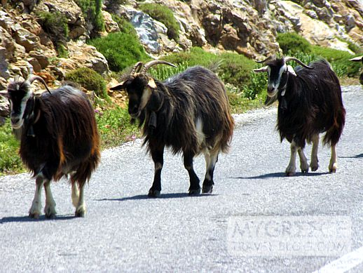 goats on a road in Amorgos