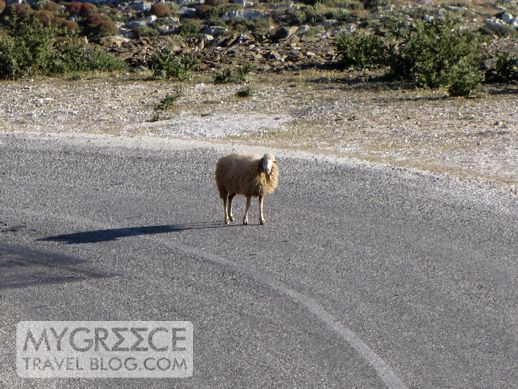a sheep on Amorgos