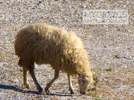 sheep on Amorgos highway