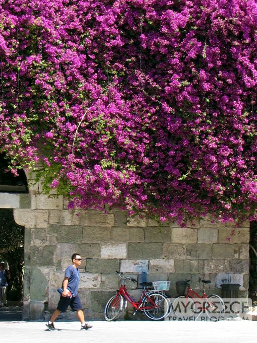 bougainvillea in Kos Town