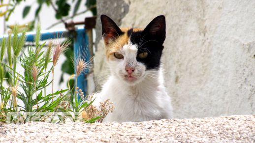 cat in Milos