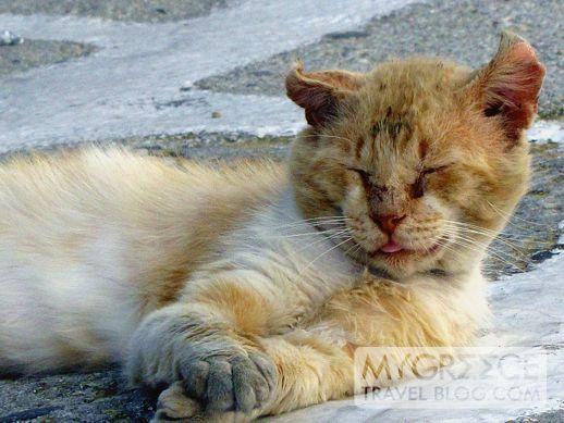 cat in Mykonos