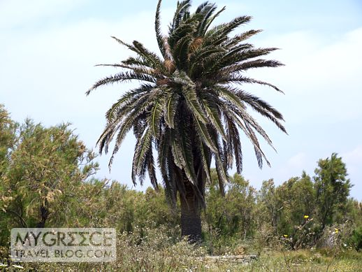 palm tree on Delos island