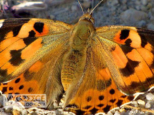 butterfly in Naxos Greece