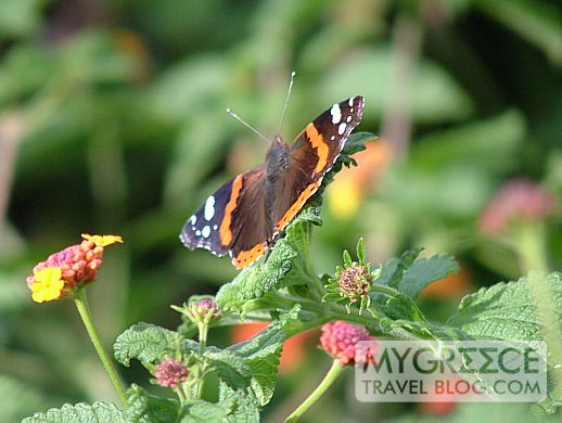 butterfly on Paros island