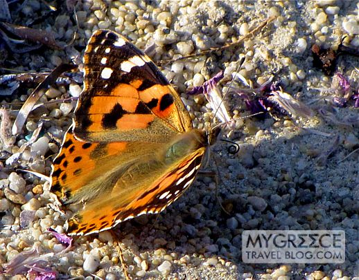 Painted Lady butterfly on Naxos
