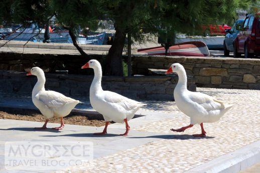 geese in Paros