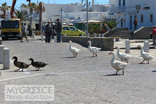 geese on the waterfront at Naoussa