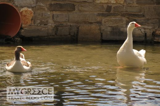 two geese in Naoussa Paros