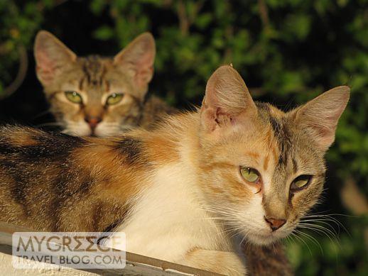 cats near Gagou Beach, Samos