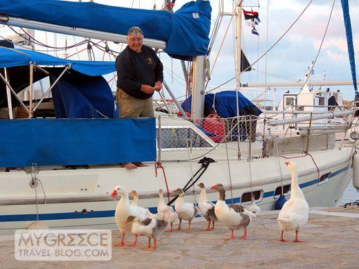 geese at the Naoussa Paros marina