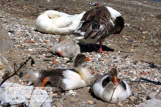 geese at Noussa Paros