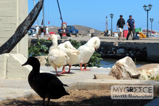 geese at the Naoussa waterfront
