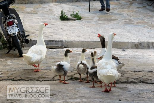 geese on a street in Naoussa Paros