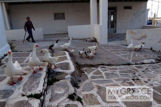 geese in Naoussa Paros