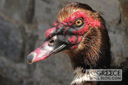 a goose in Naoussa Paros