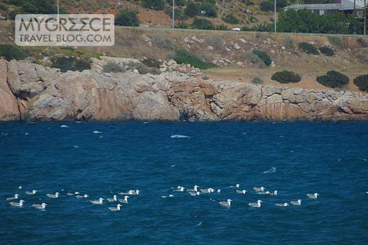 seagulls in Varkiza bay